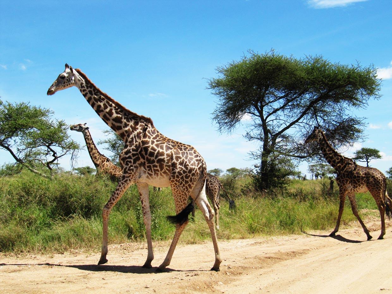 Giraffe Safari Time
