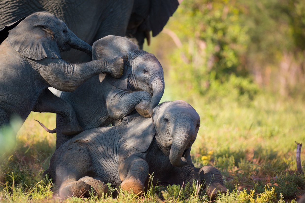 Piccoli Elefanti Thornybush