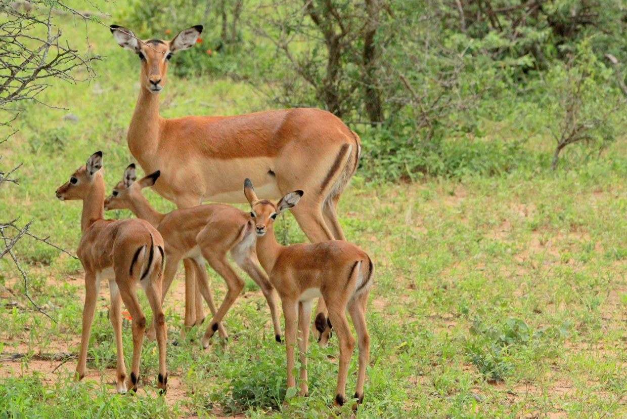 Thornybush Impala