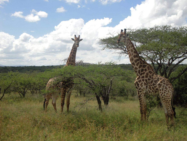 Giraffe Hluhluwe park