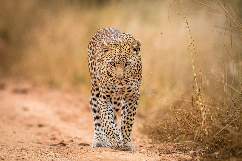 Kenya Leopardo