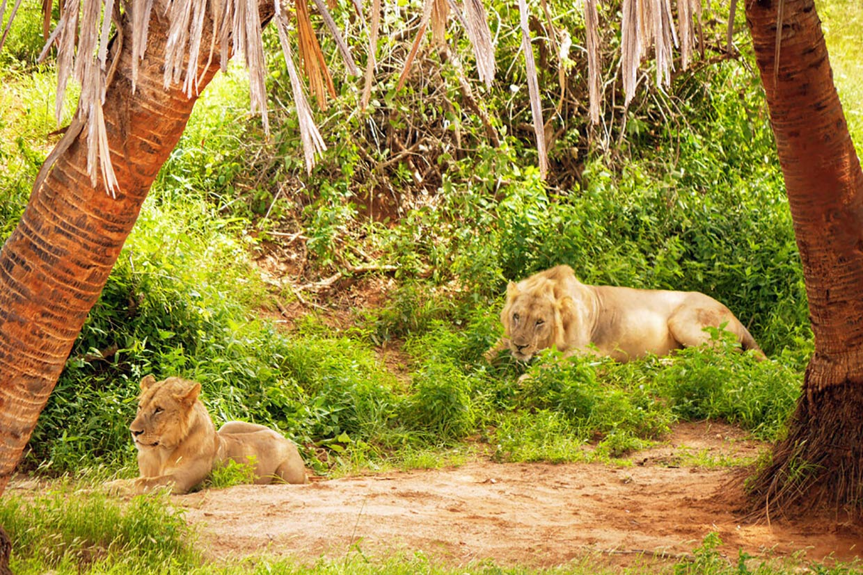 Kenya Lions Tsavo