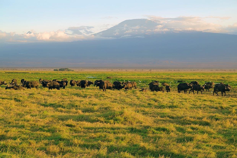 Kenya Bufali Kilimanjaro