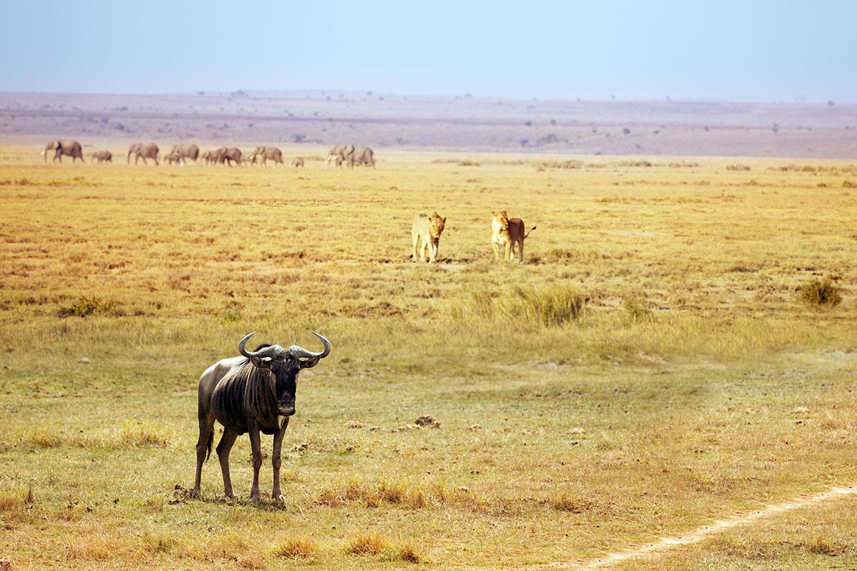 Kenya Leoni a caccia Kilimanjaro